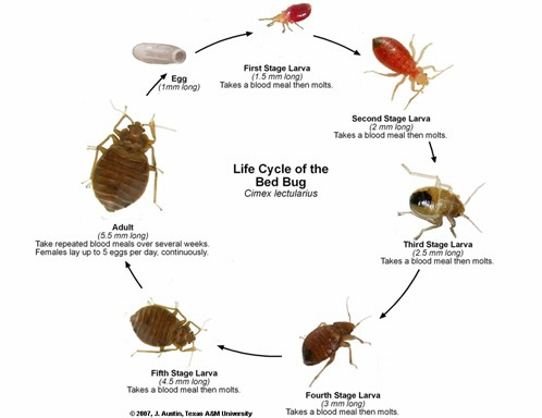 Because They Never Develop Wings Bed Bugs Cannot Fly When Disturbed Actively Seek Shelter In Dark S And Crevices